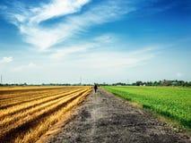 Um homem que anda para baixo na estrada rural entre o campo dourado e verde do arroz fotos de stock royalty free
