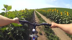 Um homem que monta uma bicicleta em uma estrada de terra através de um campo dos girassóis vídeos de arquivo