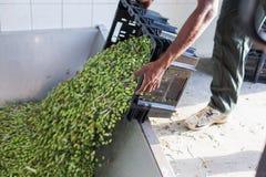 Um homem que vira uma caixa completamente de azeitonas maduras na fábrica do óleo Foto de Stock Royalty Free