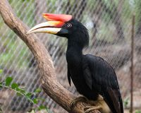 Um hornbill do rinoceronte foto de stock royalty free