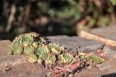 Um houseleek de Semervivum que cresce em uma pedra Imagem de Isolited com cores alaranjadas verdes foto de stock