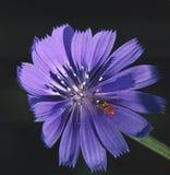 Um Hoverfly descansa em uma flor da chicória da borda da estrada imagens de stock