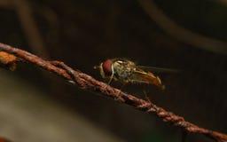 Um Hoverfly em um fio Fotografia de Stock Royalty Free