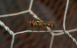 Um Hoverfly em um fio Fotos de Stock Royalty Free