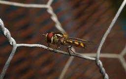 Um Hoverfly em um fio Fotos de Stock