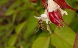 Um Hoverfly em uma flor Imagens de Stock Royalty Free