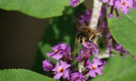 Um Hoverfly em uma flor Imagens de Stock