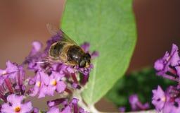 Um Hoverfly em uma flor Fotografia de Stock