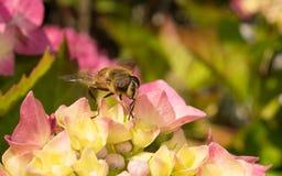 Um Hoverfly em uma flor Fotografia de Stock Royalty Free