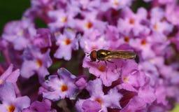 Um Hoverfly em uma flor Fotos de Stock