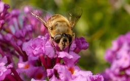 Um Hoverfly em uma flor Fotos de Stock Royalty Free