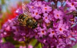 Um Hoverfly em uma flor Imagem de Stock Royalty Free