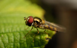 Um Hoverfly em uma planta Imagens de Stock