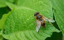Um Hoverfly em uma planta Fotografia de Stock
