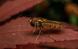 Um Hoverfly em uma planta de Acer Imagem de Stock Royalty Free
