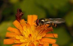 Um Hoverfly que alimenta em uma flor Fotografia de Stock Royalty Free