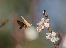 Um Hummingmoth suga o néctar Imagem de Stock