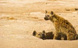 Um Hyena manchado matriz e seu filhote Imagem de Stock