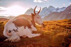 Um iaque na frente da montanha da neve fotografia de stock royalty free