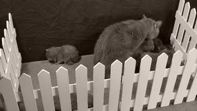 um ihren Kätzchen kümmernde, leckende und säubernde Mutterkatze, weißer Zaun stock video