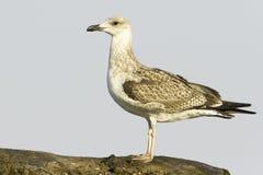 Um imaturo de gaivota/cachinnans amarelo-equipados com pernas do Larus Imagem de Stock Royalty Free