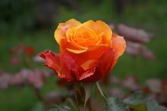 Um incomum aumentou no jardim do verão Imagem de Stock Royalty Free