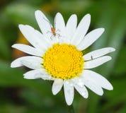 Um inseto em uma flor da margarida coberta com as gotas da água imagens de stock royalty free