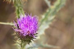 Um inseto em uma flor de florescência do cardo que procura o néctar Fotos de Stock