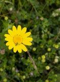 Um inseto em uma margarida amarela fotografia de stock