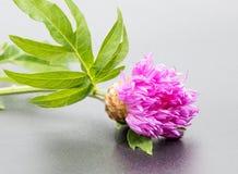 Um inseto na cabeça de florescência de uma flor do cardo Imagem de Stock