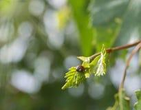 Um inseto pequeno de uma joaninha senta-se em uma folha nova de um vidoeiro Foto de Stock