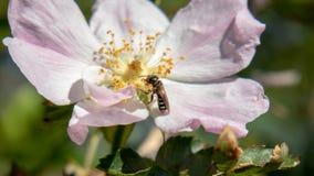 Um inseto pequeno que come em uma flor fotografia de stock royalty free