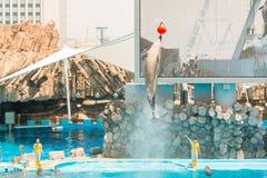 Um instrutor não identificado da mulher está mostrando golfinhos Imagens de Stock