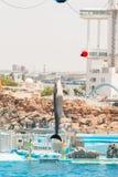 Um instrutor não identificado da mulher está mostrando golfinhos Fotos de Stock