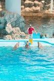 Um instrutor não identificado do homem está mostrando golfinhos enquanto executam Imagens de Stock Royalty Free