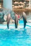 Um instrutor não identificado do homem está mostrando golfinhos enquanto executam Foto de Stock Royalty Free