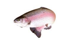 Um isolado dos peixes da truta Fotografia de Stock