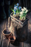 Um jacinto azul novo em uma oficina de madeira velha Imagens de Stock