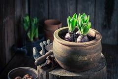 Um jacinto colorido novo em uma oficina de madeira velha Fotos de Stock