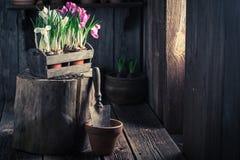 Um jacinto colorido recentemente crescido em uma oficina de madeira velha Imagem de Stock