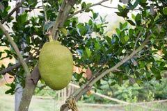 Um Jackfruit Fotos de Stock