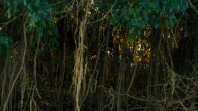 Um jaguar, onca do Panthera de Pantanal, Brasil fotos de stock