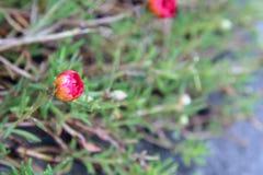 Um japonês vermelho aumentou em um parque com fundo verde Fotografia de Stock Royalty Free