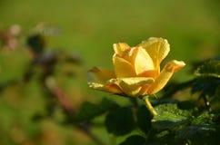 Um jardim amarelo aumentou após a chuva Fotografia de Stock Royalty Free