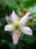 Um jardim da amora-preta da flor no verde imagem de stock