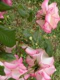 Um jardim de florescência com rosas fotos de stock royalty free