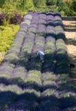 Um jardim do ` completamente do ` da alfazema arranjou por Barbara e por Andrzej Olender no ³ w de Ostrà 40 quilômetros de Krakow foto de stock