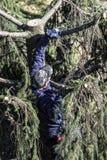 Um jardineiro que escala uma árvore de abeto para podar Fotografia de Stock Royalty Free