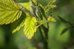 Um joaninha (axyridis dos harmônios) Fotos de Stock