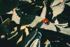 Um joaninha vermelho pequeno sobre algumas folhas imagens de stock